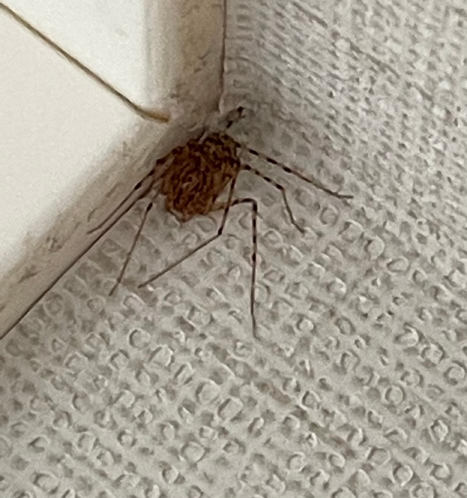 この蜘蛛の名前を教えてください。 初めて見たので調べたところ、ユカタヤマシログモのように見えます。 しかし本当にそうなのか不安なので、詳しい方いらっしゃいましたら教えてください! よろしくお願いします!