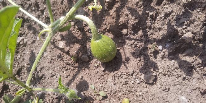家庭菜園で、西瓜の苗木から8月5日やっと 径3センチ3つ程の可愛い実を付けました。蔓だけは、大変成長しました。栄養不足だと思います。これから実を大きくさせる為には、何をどうすれば良いのでしょうか?何が 原因だったのでしょうか?今年は、諦めた方が良いのでしょうか?