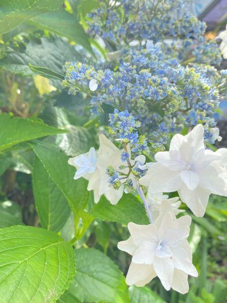 つぼみが青くて咲いたら白くなる花の名前が分かる方いらっしゃいますか? その花の花言葉を知りたいんです。 ぜひご回答よろしくお願いします