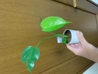観葉植物の種類について 観葉植物を買ったのですが、ネームプレートが観葉植物しか書いておらず分かりません。モンステラかポトスだと予想しているのですが、どなたか分かりますでしょうか。