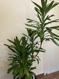 観葉植物に詳しい方へ。 この観葉植物の名前を教えてください。
