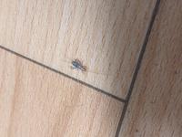 網戸を開けていたら入ってきました。 この虫はなんの虫か分かる方教えてください。 お米粒より少し大きいくらいの大きさです。 もしかしてゴキブリの赤ちゃんなのでしょうか…。