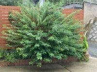 剪定について質問です。シンボルツリーのアンデスの乙女が2年でこんなに大きくなり、花壇の真ん中を占領してます。素人なもので剪定方法が全くわかりません。どうか教えて下さい。