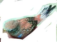 アキクサインコさんについて 綺麗なピンクのローズのコをと思って探していたのですが、このローズさんは全体的に黒い部分が点在していますが、一人餌になったばかりの雛のようなのですが、この黒い色は成鳥になると薄くなくなるものでしょうか? お詳しい方、よろしくお願い申し上げます。
