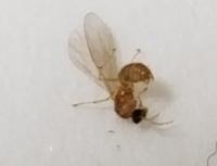 羽アリが大量発生していて困ってます。 東京住・築35年のマンションの5階に住んでいます。3日前から徐々に増えてきました。3日間窓は開けてません。エアコンの換気のみでした。 一律2ミリ程度の茶色の羽アリです。 全電気を消してテレビを見ていたらテレビの光に集まって30匹以上ウジャウジャしてます。捕まえても捕まえても湧いてきます。 発生源も分かりません。窓を開けてないので家の中からなんでしょうか…...