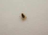 この虫は何ですか?  洗濯物についていました。 米粒小です。