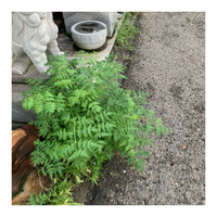 植物、雑草、雑木に詳しい方、知恵をお貸し下さい。  画像の雑木が自宅の駐車場のコンクリに生えており、除草剤をかけてもすぐに伸びてきます。 除草剤以外に有効な駆除の方法と、名前を教えて下さい。コンクリを割らないと、根本から抜くことは出来ません。  尚、自宅から半径500m以内に20本ほど生えてますが、それ以外の場所では見たことのない雑木です。  近所には一軒家の屋根に到達するほど伸...