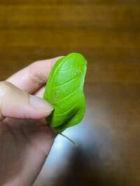 水耕栽培にてバジルを育てています。 最近、葉に、写真のような黒・銀のものが見られるようになりました。 この葉っぱは食べても大丈夫でしょうか? 原因と対策も教えていただけたら嬉しいです。