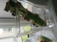 モンステラの茎は上の方が斑入り、下の方が緑です。逆に入れた方が良いですか