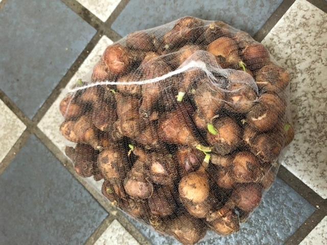タマスダレの球根です。今年の春頃に葉が黄色くなっている球根を花壇から掘り出しました。 この球根を、来年の春に植えても花が咲きますか?