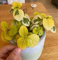 この植物の名前がわかる方いらっしゃいますか??ダイソーで購入したのですが名前のタグ?を無くしてしまいました。
