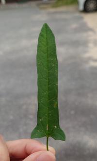こんな形の葉っぱをした、蔓の植物はなんでしょうか?