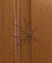 この蜘蛛は何と言う蜘蛛ですか? 家の中や、家の周りに居るのですが、少し大きくてびっくりします。害はないと思うので放っておいています。(流せる時は外へ逃す)  8、9センチくらいで脚も細長いです。