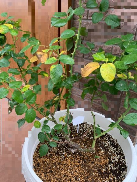 今年の夏ごろにロココの大苗の売れ残りを買いました。 数日前までは葉が青々として赤い新芽もどんどん出ていたのですが、今日見るとこのように葉が黄色くなってしまっていました。 一昨日毛虫(種類不明、ハバチではありませんでした)が1匹いたことくらいしか変わったことはなかったと思います。 あとは昨日からずっと雨が降っています。住まいは関東です。 なにか対処法や原因があれば教えて下さい。