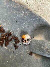 これはクワガタの幼虫ですか?種類はなんですか?教えて欲しいです。