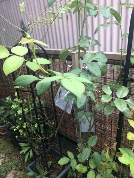 バラ【ウィンダミア】です。 シュラブ、とあったので、木立ち的に育てたかったのですが、つる性が結構あって、伸び伸びになりました。 今後はオベリスクに仕立てようと思いますが、 夏剪定の時期になったので、少し枝を整理しようと思います。 基本的に全ての枝にハサミを入れる、と聞きましたが、 新しい新芽が出ている枝そのものは、切らなくていいのでしょうか。