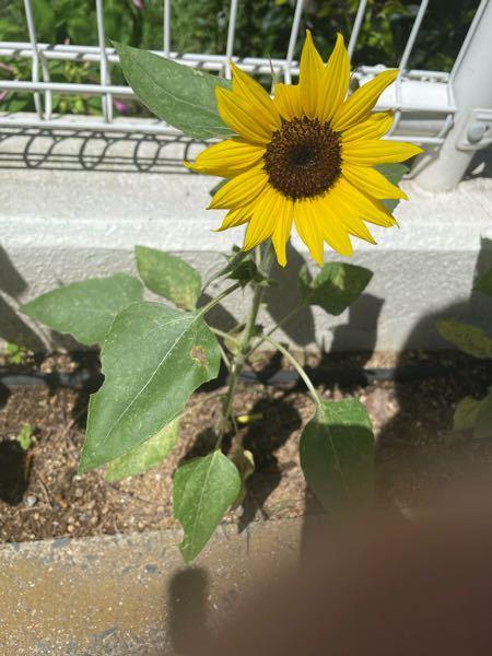 ひまわりに似たこの花の名前を教えてください。