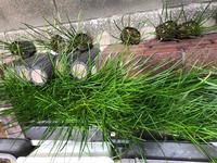 花壇のタマスダレが咲き終わりました。 来年咲くまで葉だけの状態でおくと花壇のスペースがもったいないので、掘り起こして別の花を植えたいです。 タマスダレをどうしておけばいいですか?