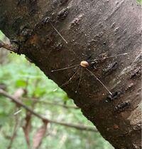 なんという種名の昆虫でしょうか ザトウムシかと思いますが