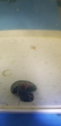 汚い水槽画像ですみません。ラムズホーンの事です。  1年程ミジンコ水槽に1匹だけ入れています。最初の半年位はヒーターを入れていたからか、他のに比べて成長が早く、今もぶっちぎりで最大です。 同世代は他15匹ほどいましたが、体から赤い血みたいのが出たり、身を引っ込めたまま動かなくなり5匹程死んでいます。  そして、この画像のラムズですが、最近ザリガニの餌食いが悪いというか、食べていないなとは思っ...