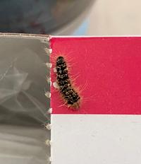 どなたかこの毛虫の名前をご存知の方いらっしゃいませんか? 昨日から家の中で複数匹発見しまして気になっています。 宜しくお願いします!