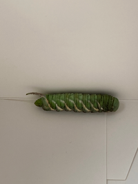 駐車場に転がっていたのですがこの幼虫は何の幼虫でしょうか?