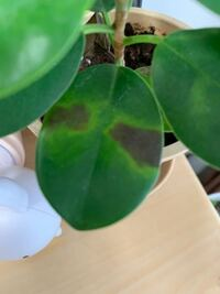 今朝起きたら、パンダガジュマルの葉っぱがこんな風になってました。(一枚だけ) これって病気ですか?病気だったらどうすればいいでしょうか?ガジュマルを育てるのは初めてなので分かりません。