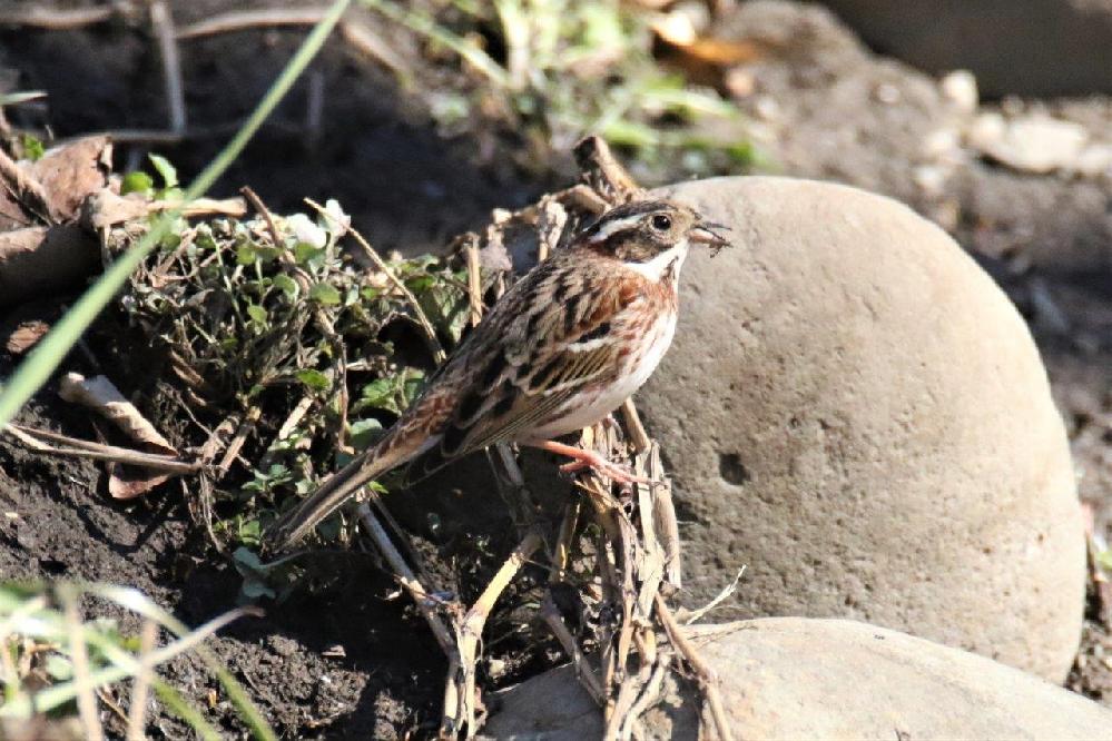 この野鳥の名前を教えてください 撮影場所 埼玉県坂戸市浅羽ビオトープ 撮影日 2021.2.16
