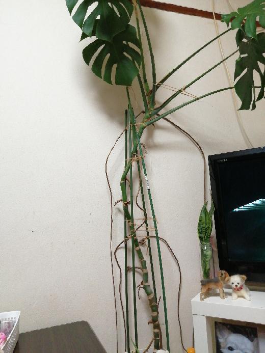 モンステラの根が、このようになってます。 切ってしまうのか、どうすればいいですか? 詳しい方 教えてください