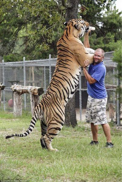 この写真の虎は何と言う虎ですか? 隣の男性は身長185cmくらいです。 腕が人間のウエストくらい太いしビックリしました。