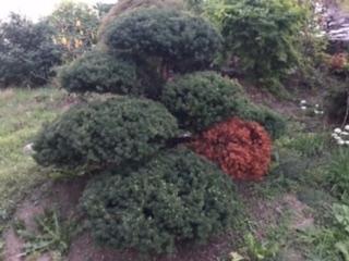 北海道のオンコの木(イチイ)が、写真の様に一本の枝の葉だけ枯れて赤くなってしまいました。剪定は新芽が伸びてくる6〜7月頃に毎年樹形を整える程度にやっています。樹齢は借家の庭木なので不明です。 今年は北海道も30°超えの異常に暑い日が連日続いたのが原因でしょうか?他にもう一本、オンコが居ますがそっちは枯れていません。 なんとかまた元気な緑に戻す方法はあるでしょうか? また、今後他の枝にも広がらないようにする予防法があれば教えて下さい。 よろしくお願い致します。