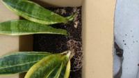 サンスベリアを購入して2年目です。 恐らく根腐れしているので鉢から出して乾燥させています。 根元がクニャクニャになっているものは切り離しました。 また内側の新芽にあたるものは完全に黒くなり臭みもあります。 再生を試みたいですが、株からの再生は難しいでしょうか? 1株に数枚生えているうちの何枚かは元気そうですが、内側の新芽が黒いので、この株自体は諦めて、全ての葉を分解切り離ししないといけないの...
