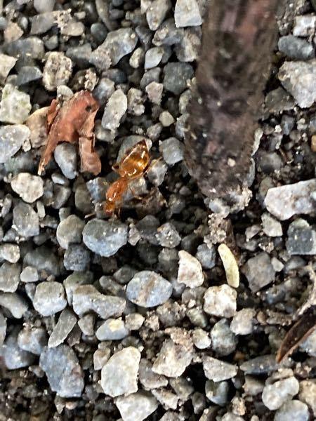 普通の蟻ではないのがいたので、質問させていただきます。 普通の蟻なら黒色を想像しますが、また違った色がいたので疑問に思ったのがこちらですが、こちらのアリはどういったありでしょうか?