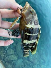 アオハタですか?キジハタですか? 福井で釣れました。
