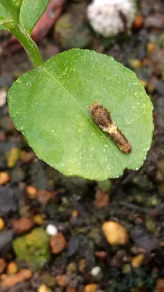 何の幼虫ですか?柑橘系の葉っぱにいます