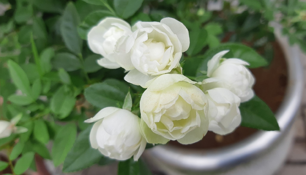 いつもお世話になっております。 こちらはバラでしょうか。 花の名前を教えてください。 宜しくお願いします。