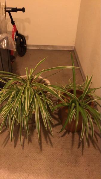 写真の観葉植物の名前が分かられる方、ご教示いただけましたら幸いです。