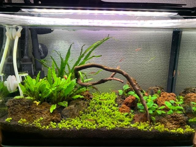 熱帯魚水槽のコケについてです。 植えたばかりのキューバパールグラスに うっすら茶色がかってきました。 茶色っぽいコケに思えます。 植えてから8日経ってます。 状況としては 立ち上げて数ヶ月経つ30センチ水槽に キューバパールを植え 照明は7時間設定 水換えは今日行い植えてから3回目 照明の時間が長いからでしょうか、、 生体をちょい多めに入れてるので 水質の悪化なのでしょうか、、 原因が何なのか知りたいと思ってます。 参考までに写真添付します。 ご教授お願いします!