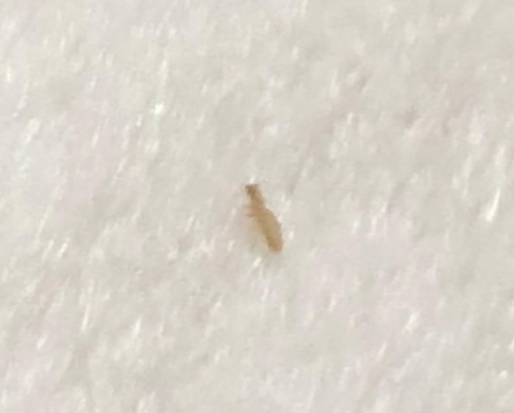なんの虫か分かりますか?写真有り なんかたまに見かけるんですけど、極小だしちょこまかいるので邪魔で仕方ないです なんとか撮れたので写真のせます。