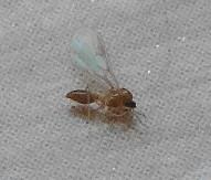 羽アリが大量発生しました。二日たち、ほぼおさまってきましたが、今後のためにも種類を知っておきたく思っています。アリ?ハエ?詳しい方教えてください。