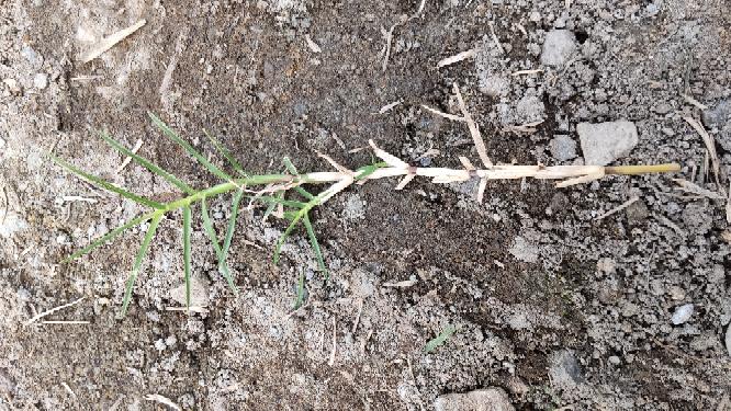 この雑草はメヒシバでしょうか? 芝生のところに生えてきます。