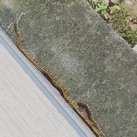 最近、早朝にヘビが庭にいることがあります。 何ヘビか分かる方いませんか? 毒蛇じゃなければいいのですが。