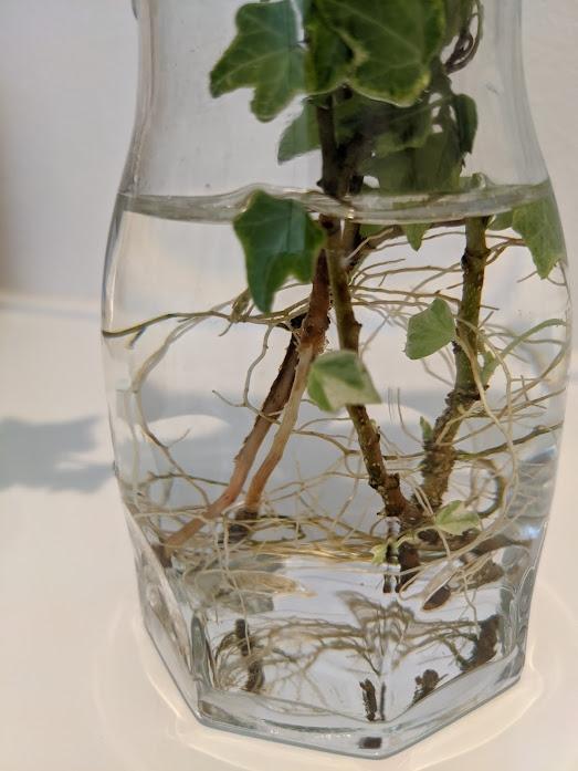 ヘデラ(アイビー)に藻が付着してしまいました。 ヘデラを水耕栽培(ハイドロカルチャーではなく水に差してるだけ)していたら、2ヶ月ほどで藻が付きました。 手でこそぎ落としたのですが、一緒に樹皮が取れてしまい白い部分が剥き出しになっています。 水の交換は毎日してるため根っこは白っぽく一応生きてる感じですが、このまま放っておいても根腐れしたりしませんでしょうか。 また、今後藻が発生したときはどのように対処するべきですか。 画像左側の枝です。見にくくてスミマセン。 追記① 土植えではないので大きく伸ばしてくことは考えていません。