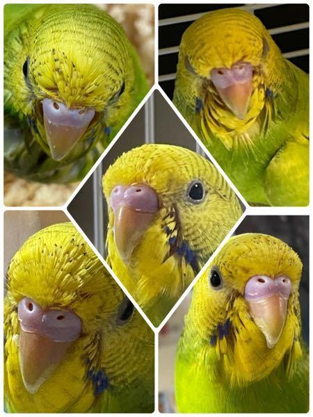 性別、どちらか分かりますか? 生後2ヶ月になります。 鳥専門の動物病院の先生は、オスだと言ってましたが、光の加減によっては、メスのようにも見えることもあり。 オスであっているのかな?と気になってます。