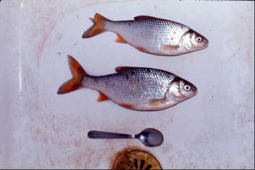 かつてパリのシテ島で釣った魚です。何という名の魚でしょうか? (入漁料はきちんと払いました)