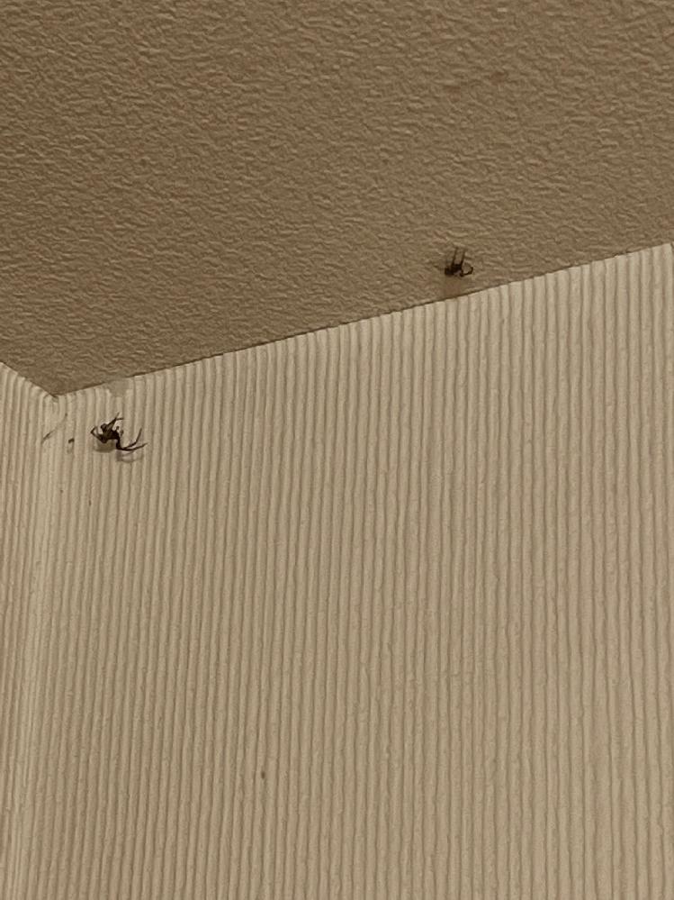 この蜘蛛の名前を教えてください!二匹とも天井の辺をぐるぐる一周してます