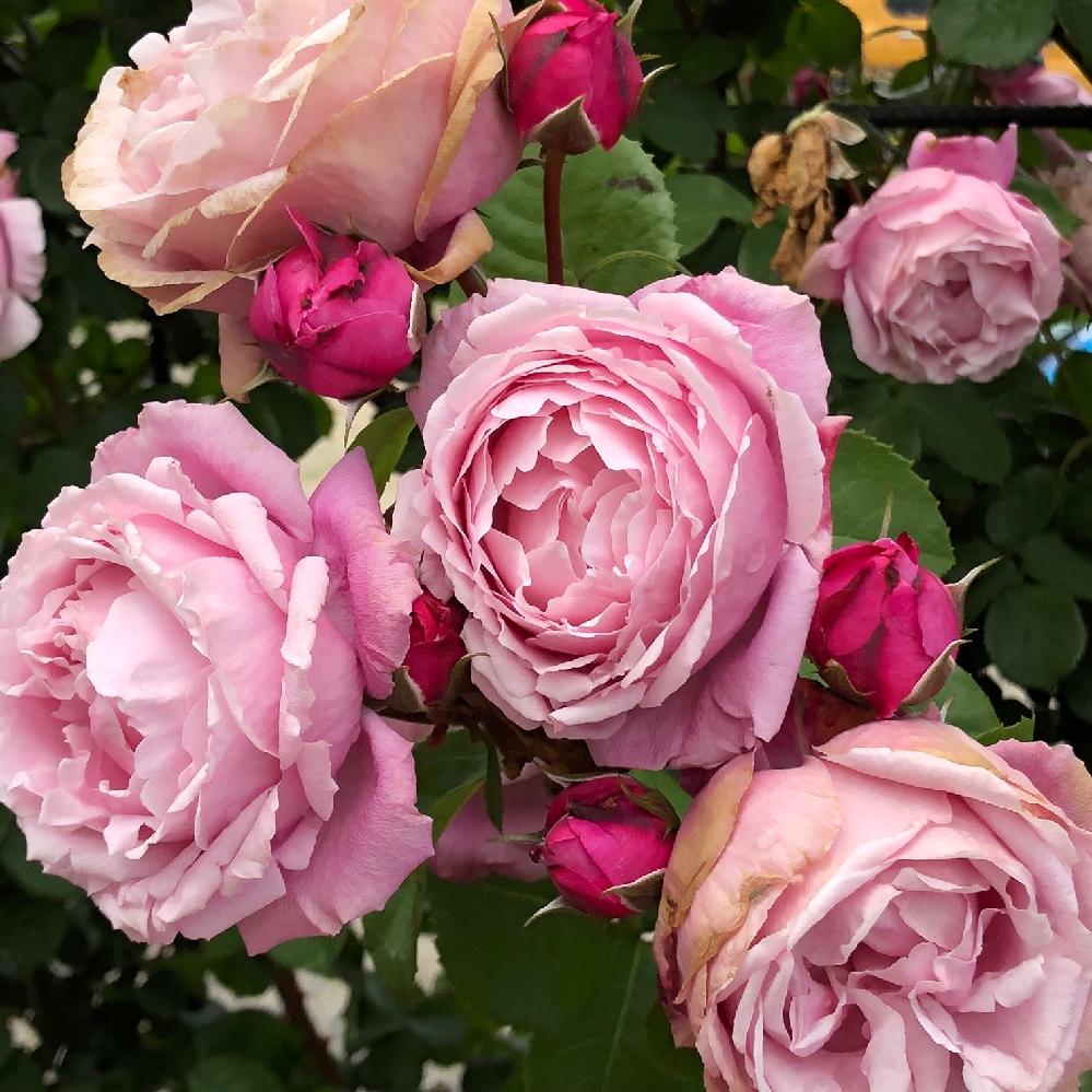 薔薇にお詳しい方こちらの薔薇の名前を教えて下さい。 つるバラだったように思うのですが大きさなどは忘れてしまいした。ビアンヴニュよりも紫が濃いように思います。やはりビアンヴニュでしょうか?