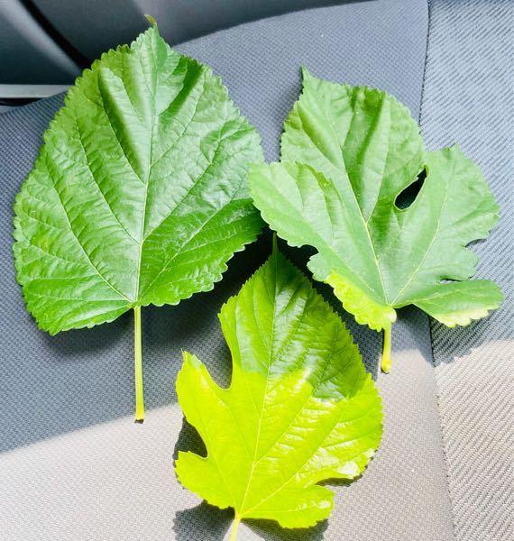 これは、なんとなく3枚とも葉の形状が違いますが桑の葉ですか?