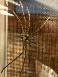 蜘蛛(写真)の名前を知りたいです。 神奈川県住みの者です。 さきほどお風呂場に 手のひらサイズの蜘蛛が出ました。  気になってお風呂にも入れません。 よろしくお願いします。