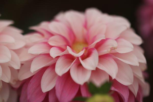 薔薇・彼岸花・コスモス・ダリアなど秋の花が咲き始めました。 皆さん、写真撮っていますか?皆さんの撮った写真を見せてください。 下の写真はダリアです。